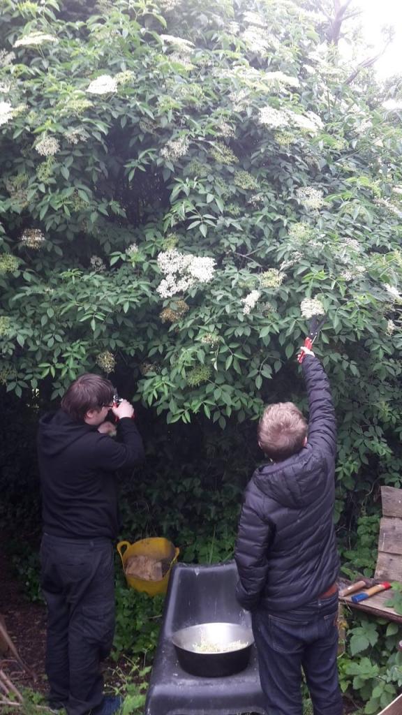 Two people pointing to an elderflower tree.